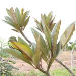Shivpushpa-Lal(Kanail)1