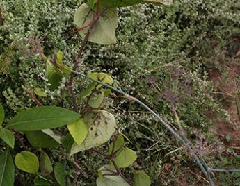 देसी पान का पौधा